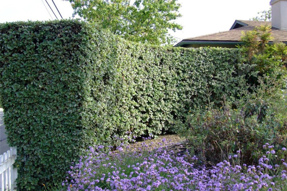 Tall Hedge Barrier