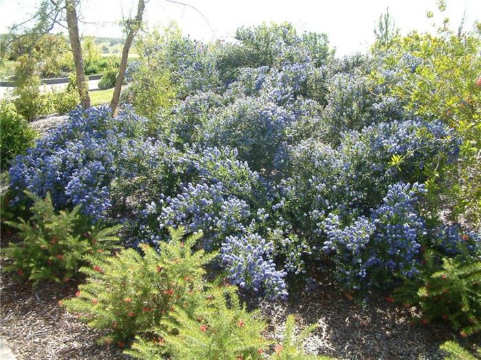 Ceanothus Julia Phelps Native Plant California Lilac