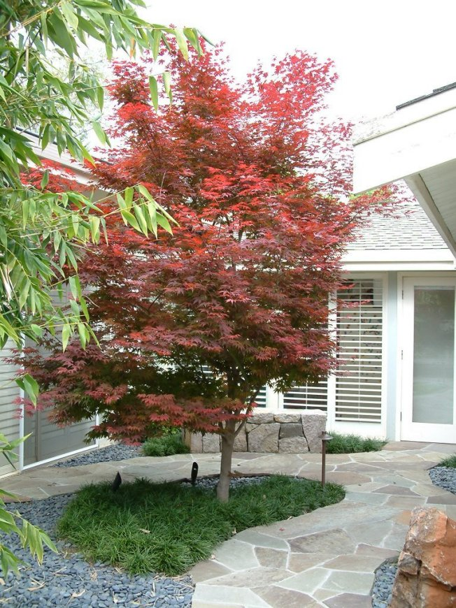 gallery for gt bloodgood japanese maple growth rate