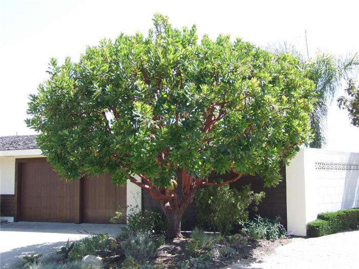arbutus marina strawberry tree - photo #10