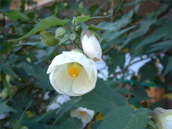 Plant photo of: Abutilon hybrids