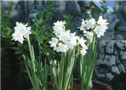 Narcissus  Assorted Varieties