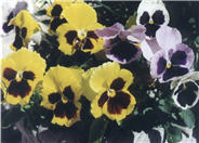 Common Pansy